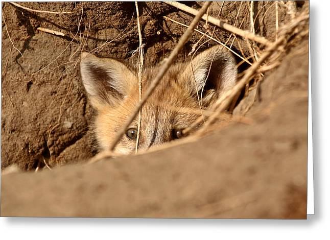 Spring Scenes Greeting Cards - Red Fox pup peaking out of den Greeting Card by Mark Duffy