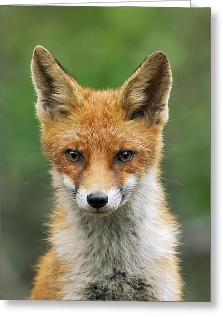 Red Fox Vulpes Vulpes, Hoge Veluwe Greeting Card by Jan Vermeer