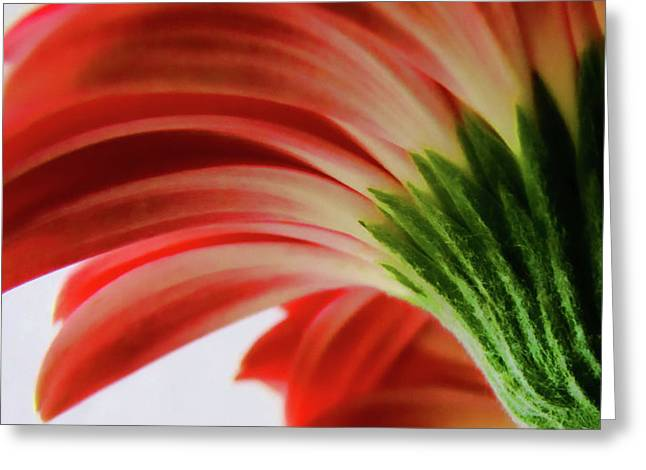 Large Flowers Greeting Cards - Red Gerbera Greeting Card by Tony Grider