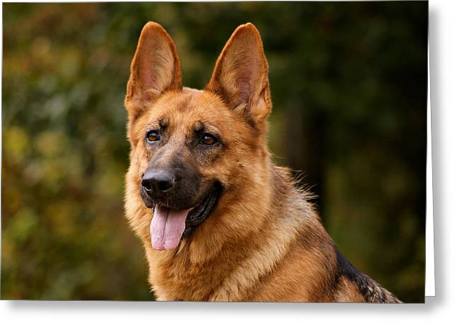 Indiana German Shepherds Greeting Cards - Red German Shepherd Dog Greeting Card by Sandy Keeton