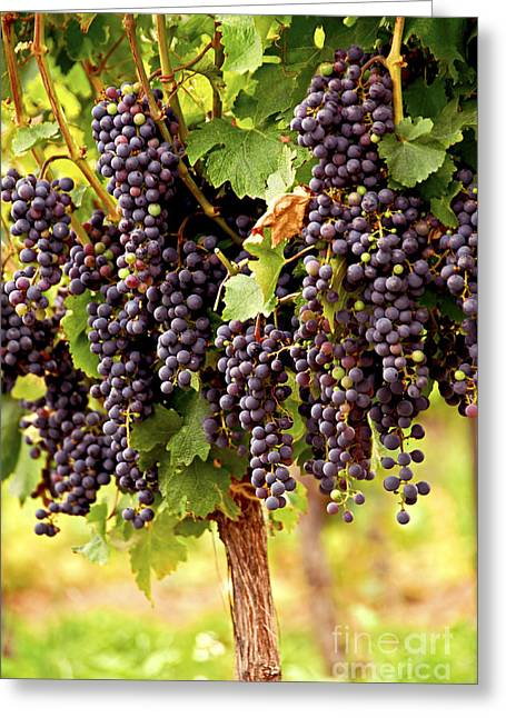 Purple Grapes Photographs Greeting Cards - Red grapes Greeting Card by Elena Elisseeva