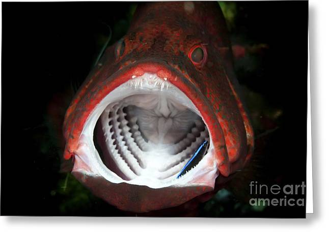 Grouper Greeting Cards - Red Grouper With Open Mouth And Cleaner Greeting Card by Mathieu Meur