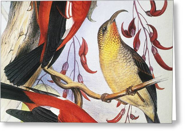 Red Hawaiian Honeycreeper Greeting Card by Hawaiian Legacy Archive - Printscapes