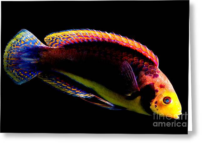 Reef Fish Greeting Cards - Red Headed Fairy Wrasse Greeting Card by Danté Fenolio