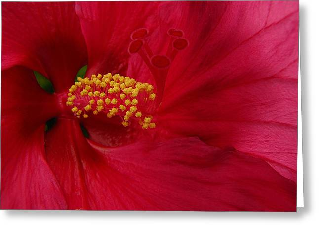 Red Flower Pyrography Greeting Cards - Red Hibiscus Greeting Card by Beckie Fitgerald