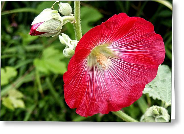 Red Hollyhock Greeting Card by Lisa Phillips