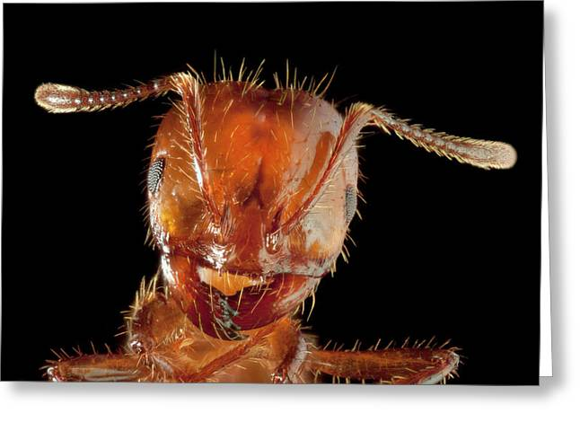 Shoulder-fired Greeting Cards - Red Imported Fire Ant Solenopsis Greeting Card by Michael Durham