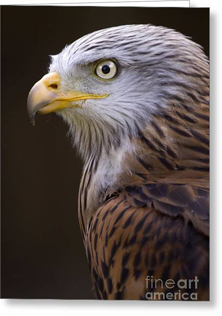 Red Falcon Greeting Cards - Red kite Greeting Card by Angel  Tarantella