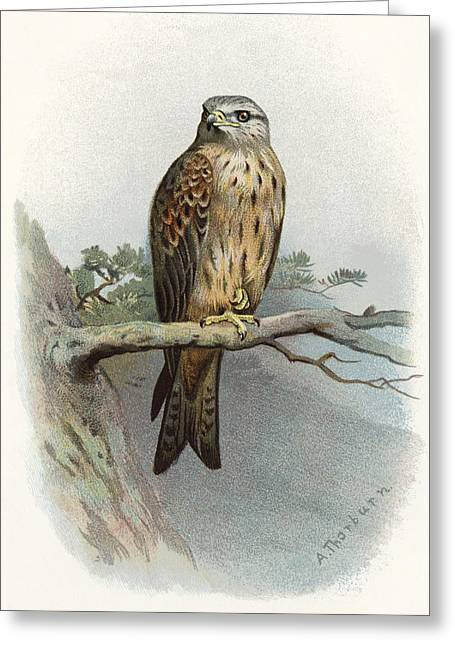 Kite Greeting Cards - Red Kite, Historical Artwork Greeting Card by Sheila Terry
