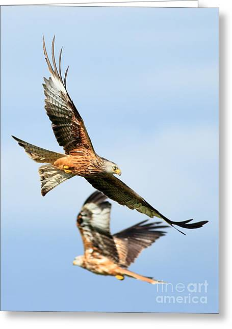 Clare Scott Greeting Cards - Red Kite Soaring High Greeting Card by Clare Scott