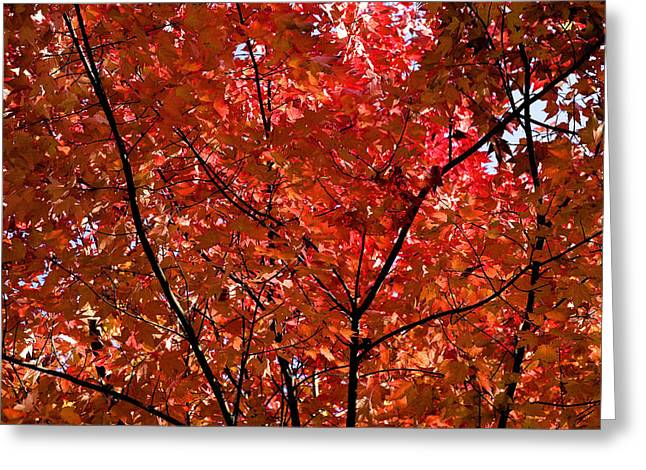 Gatlinburg Tennessee Greeting Cards - Red Leaves Black Branches Greeting Card by Rich Franco