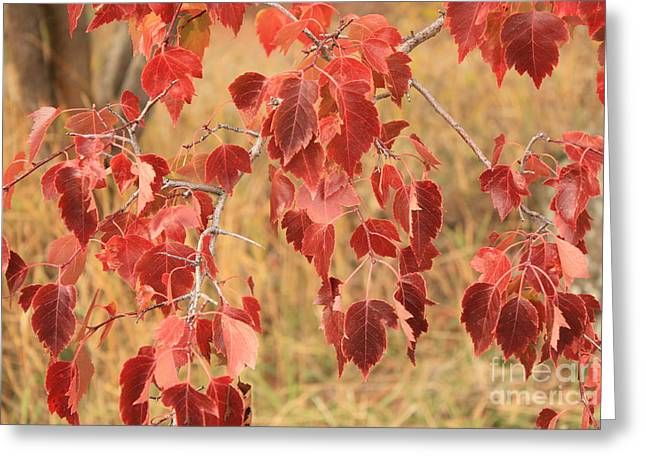 Red Leaves Greeting Cards - Red Leaves in Autumn Greeting Card by Carol Groenen