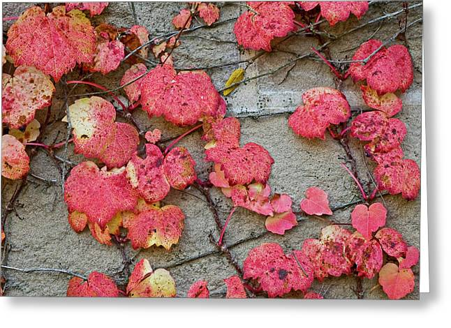 Vine Greeting Cards - Red Leaves Greeting Card by Scott Norris