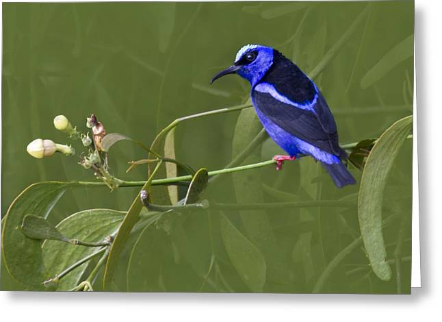 Zoologic Greeting Cards - Red-legged Honeycreeper - Cyanerpes cyaneus Greeting Card by Heiko Koehrer-Wagner