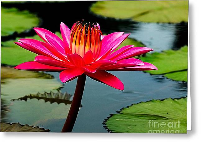 Lilly Pads Greeting Cards - Red Lily Greeting Card by Nick Zelinsky