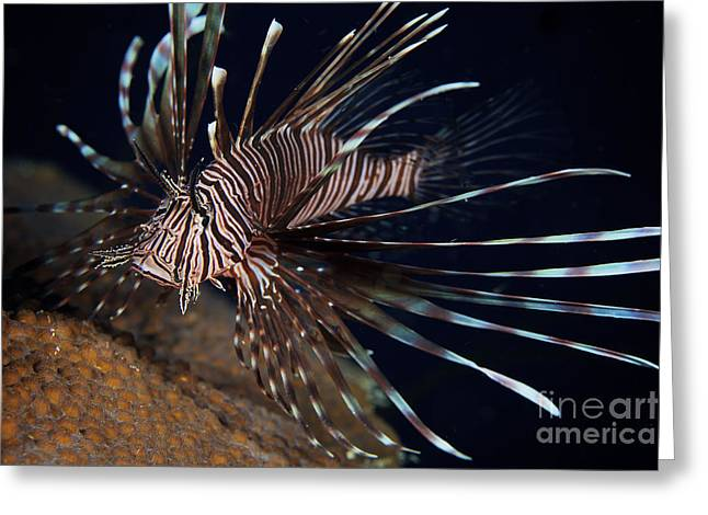 Flaring Greeting Cards - Red Lionfish Flares Its Deadly Spines Greeting Card by Terry Moore