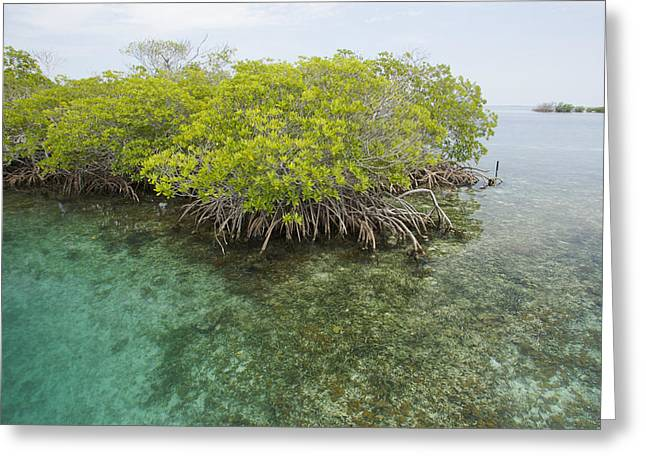 Tree Roots Photographs Greeting Cards - Red Mangrove Trees On An Offshore Greeting Card by Tim Laman