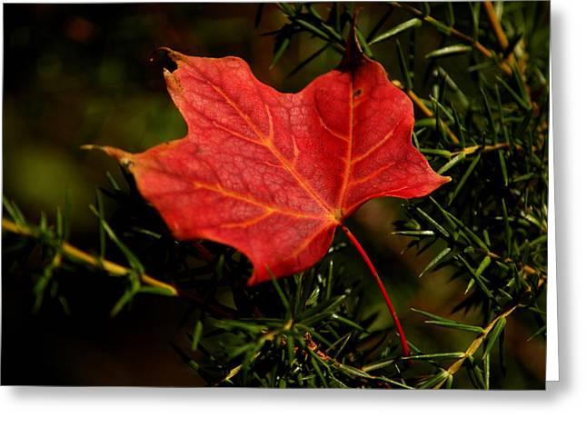 Best Sellers -  - Nature Center Pond Greeting Cards - Red Maple in the Pine Greeting Card by LeeAnn McLaneGoetz McLaneGoetzStudioLLCcom