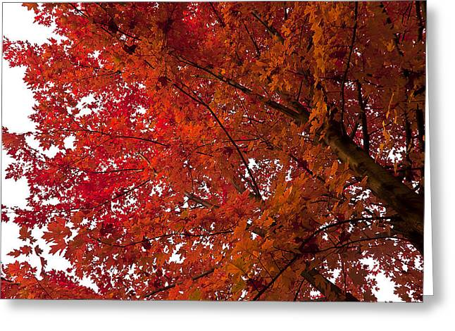 Maple Syrup Greeting Cards - Red Maple Greeting Card by Kamil Swiatek