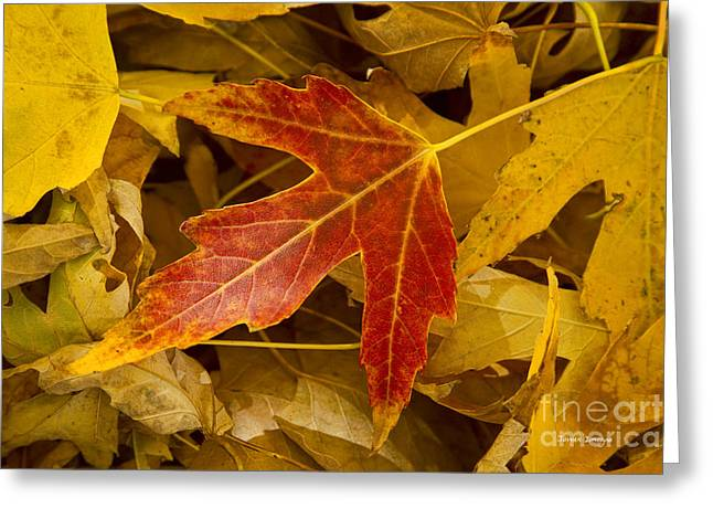Autumn Prints Greeting Cards - Red Maple Leaf Greeting Card by James BO  Insogna
