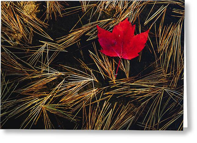 Red Maple Leaf On Pine Needles In Pool Greeting Card by Mike Grandmailson