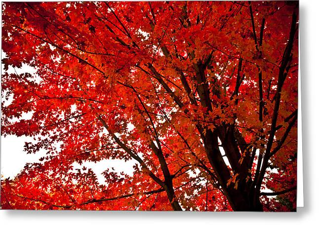 Red Leaves Greeting Cards - Red Maple Tree Greeting Card by Kamil Swiatek