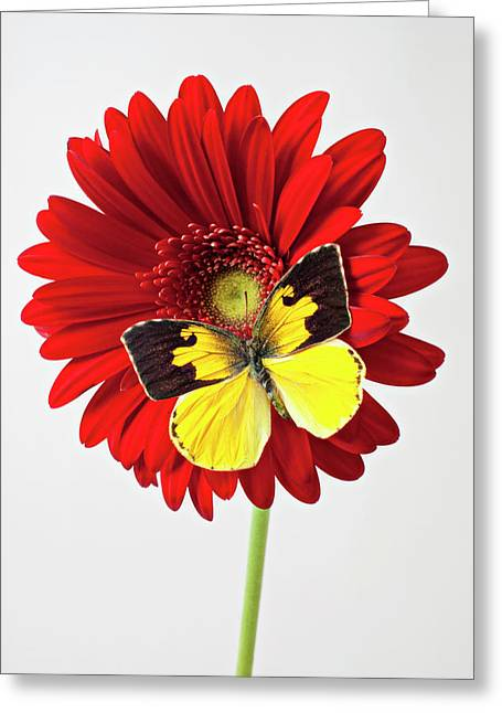 Invertebrates Greeting Cards - Red mum with Dogface butterfly Greeting Card by Garry Gay