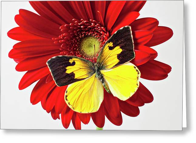 Red mum with Dogface butterfly Greeting Card by Garry Gay