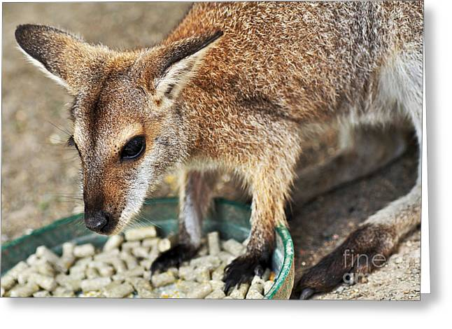 Red-necked Wallaby Greeting Card by Kaye Menner
