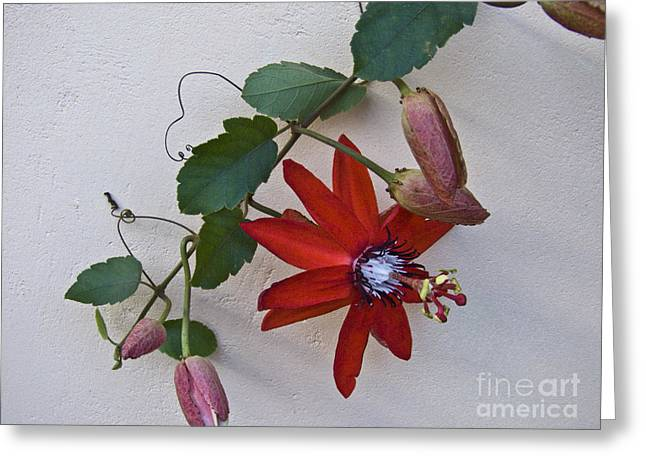 Passiflora Greeting Cards - Red on White Greeting Card by Heiko Koehrer-Wagner