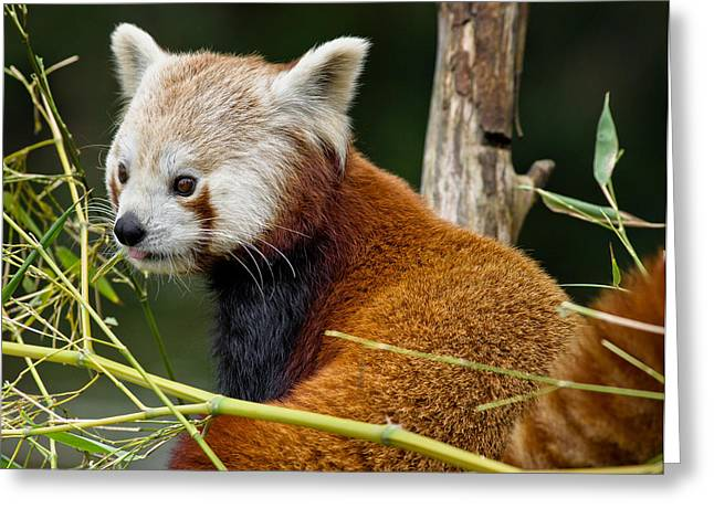 Critter Greeting Cards - Red Panda Curiousity Greeting Card by Greg Nyquist