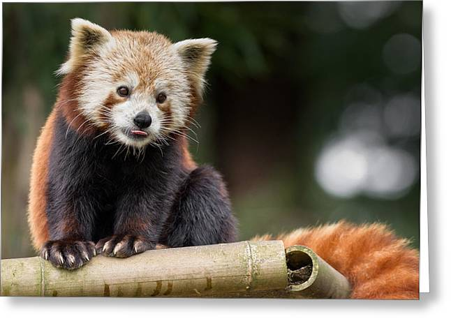 Critter Greeting Cards - Red Panda Fascination Greeting Card by Greg Nyquist