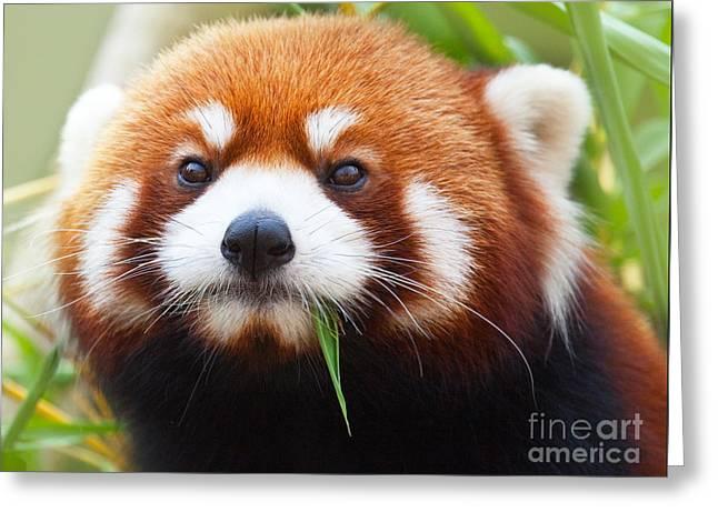 Asian Wildlife Greeting Cards - Red Panda Greeting Card by MotHaiBaPhoto Prints