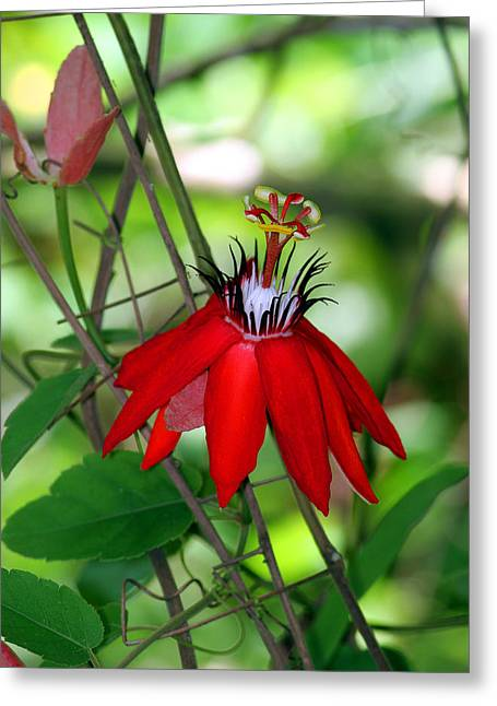 Passion Fruit Greeting Cards - Red Passion Greeting Card by Leo Miranda
