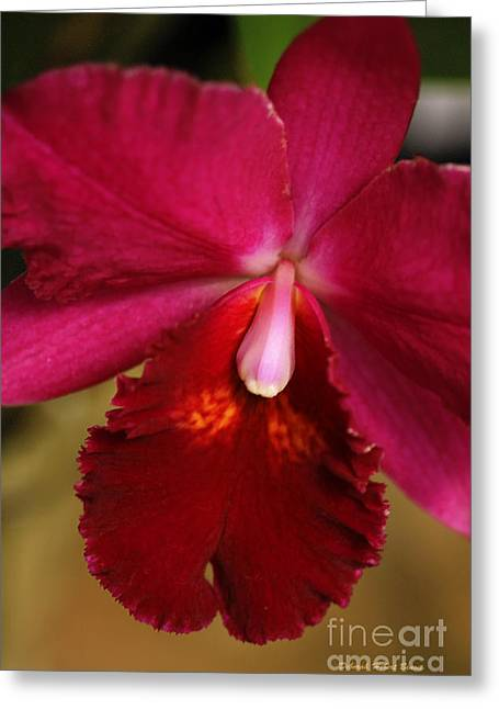 """nature Photography Prints"" Greeting Cards - Red Passion Orchid Greeting Card by Deborah Benoit"