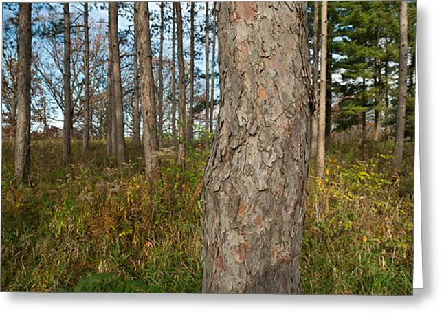 Morton Greeting Cards - Red Pine Forest Greeting Card by Steve Gadomski