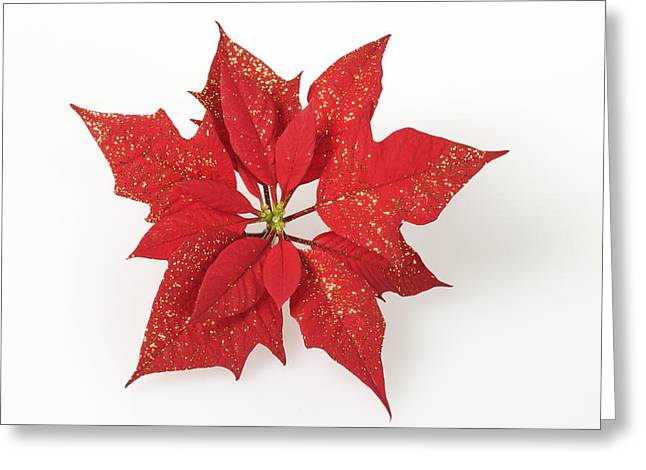 Euphorbia Greeting Cards - Red poinsettia flower Euphorbia pulcherrima Greeting Card by Matthias Hauser