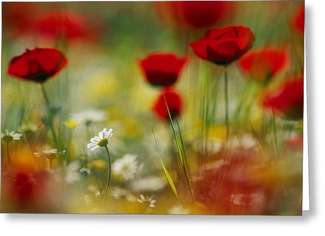 Red Poppies And Small Daisies Bloom Greeting Card by Annie Griffiths