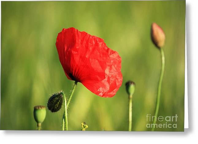 Red Poppy In Field Greeting Card by Pixel Chimp