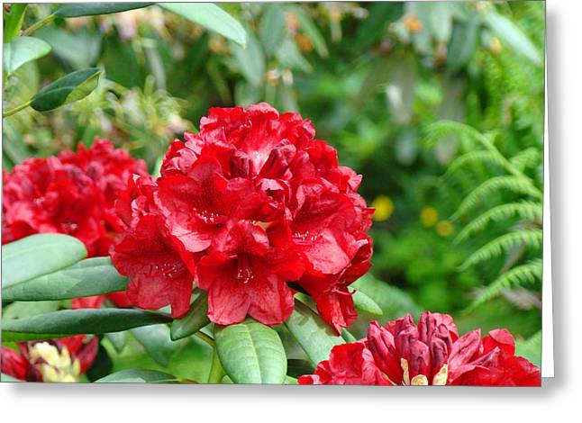 Rhodies Greeting Cards - Red Rhododendron Floral art prints Rhodies Greeting Card by Baslee Troutman