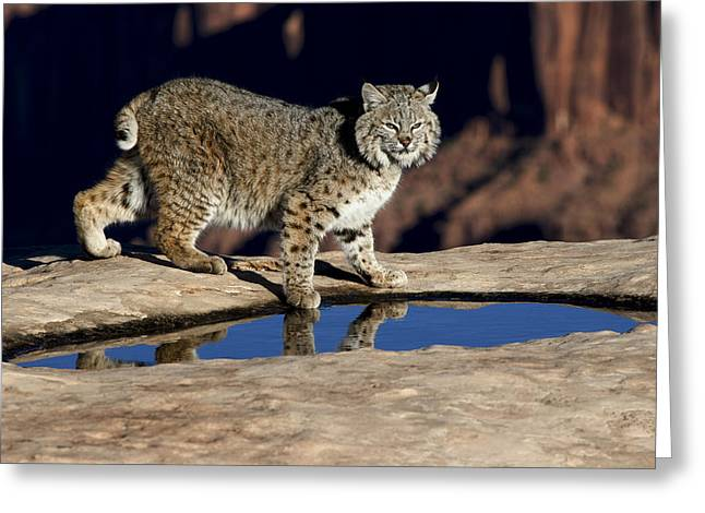 Bobcats Greeting Cards - Red Rock Bob Greeting Card by Dewain Maney