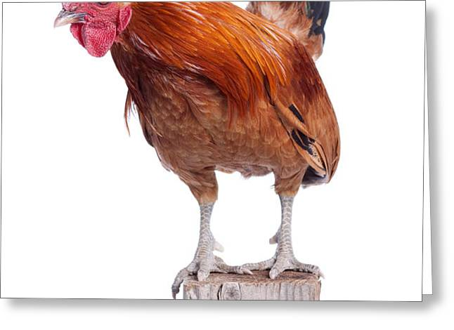 Red Rooster on Fence Post Isolated White Greeting Card by Cindy Singleton