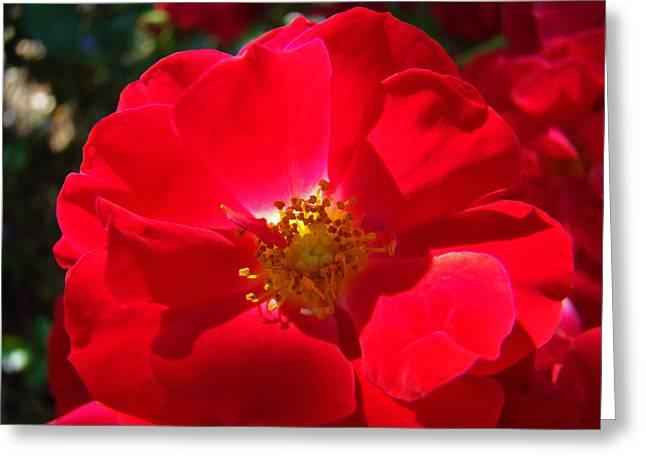Baslee Troutman Greeting Cards - RED ROSE Art Print Sunlit Roses Botanical Giclee Baslee Troutman Greeting Card by Baslee Troutman Art Print Collections