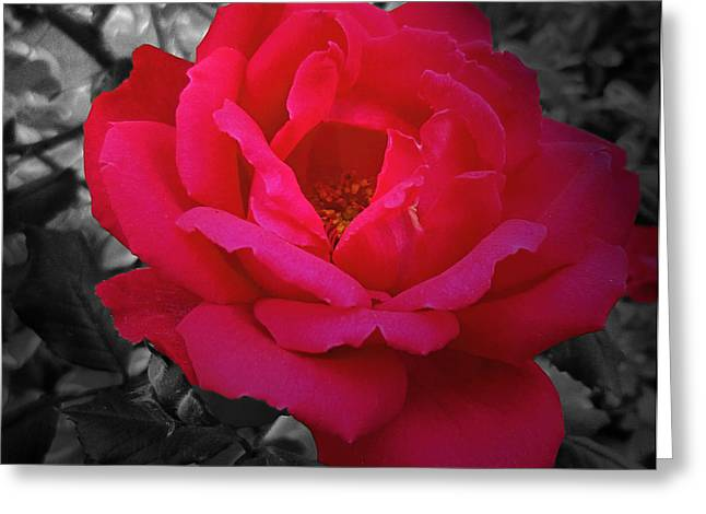 Mikki Cucuzzo Greeting Cards - Red Rose on Black and White Greeting Card by Mikki Cucuzzo
