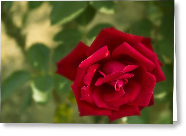 I Pyrography Greeting Cards - Red Rose Greeting Card by Soumyadip Maity