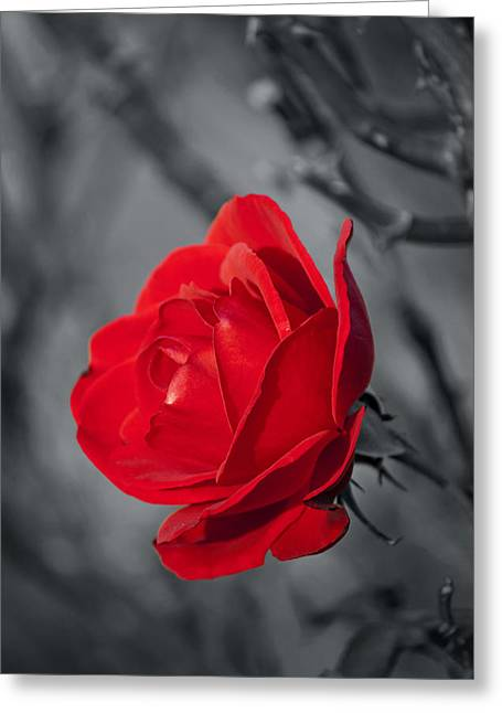 Colorkey Digital Greeting Cards - Red Rose Greeting Card by Design Windmill