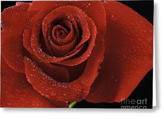 Flowers Stretched Prints Greeting Cards - Red Rose With Water Drops Greeting Card by M K  Miller