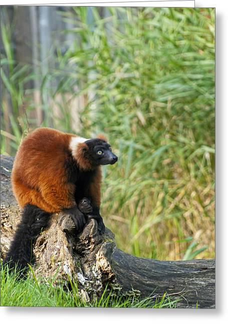Red-ruffed Lemur Greeting Cards - Red Ruffed Lemur Greeting Card by Design Windmill