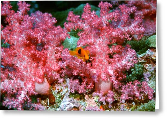 Saddleback Greeting Cards - Red Saddleback Anemonefish And Soft Coral Greeting Card by Georgette Douwma