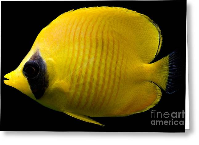 Chaetodon Semilarvatus Greeting Cards - Red Sea Butterfly Fish Greeting Card by Danté Fenolio